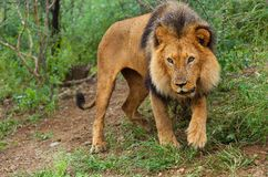Lion 2 Royalty Free Stock Images
