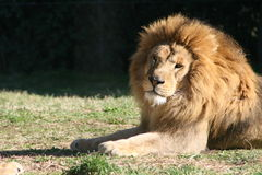 Lion #2 Royalty Free Stock Photography
