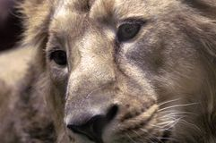 Lion. Closeup lying lion with sincere eyes Royalty Free Stock Images