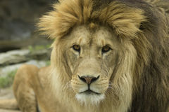 Lion. Detailed portrait of the mighty lion Stock Image