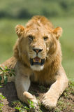 Lion. Male lion close up in Kenya's Masai Mara Royalty Free Stock Photo