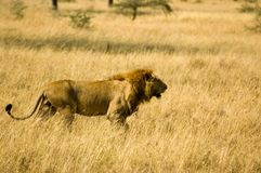 Lion-21. Lion in the grass, Serengeti reserves, Tanzania Stock Photos