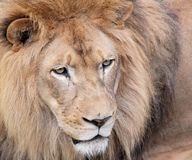 Lion. Face of lion male in nature Royalty Free Stock Photos