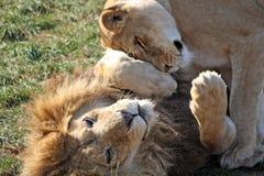 Lion Arkivbilder