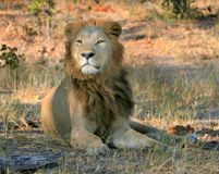 Lion. Male lion takes a rest in the shade Royalty Free Stock Image