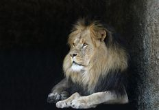 Lion. Lying at entrance of his cave. copy space Royalty Free Stock Photography