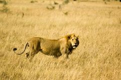 Lion-22. Lion in the grass, Serengeti reserves, Tanzania Stock Photos
