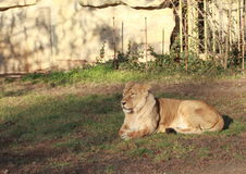 Lion. Female having a rest royalty free stock photos