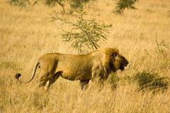 Lion-23. Lion in the grass, Serengeti reserves, Tanzania Royalty Free Stock Images