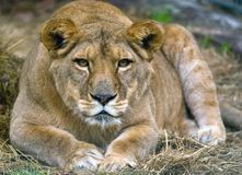 Lion. Close up portrait of the female lion Stock Photos