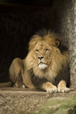 lion Royaltyfria Foton