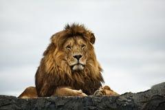 Free Lion Stock Photo - 24987530
