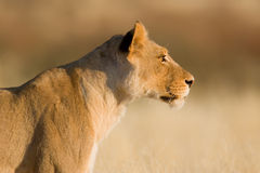 Lion. Female; panthera leo; South Africa Royalty Free Stock Image
