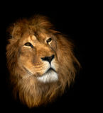 Lion. On the black background Royalty Free Stock Image