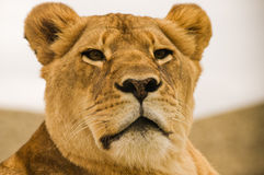 Lion. A female lion at rest but ready Royalty Free Stock Photos