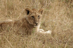 Lion. Young lion lying in the grass in the Masa Mara Stock Photos
