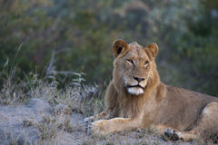 Lion. Young male lion in the Kruger Park Royalty Free Stock Photography