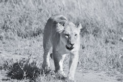 Lion. In Serengeti hosts the largest mammal migration in the world, which is one of the ten natural travel wonders of the world. It is located in north Tanzania Royalty Free Stock Photo