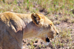 Lion. In Serengeti hosts the largest mammal migration in the world, which is one of the ten natural travel wonders of the world. It is located in north Tanzania Stock Images