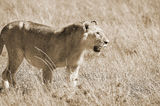 Lion. In Serengeti hosts the largest mammal migration in the world, which is one of the ten natural travel wonders of the world. It is located in north Tanzania Stock Photos