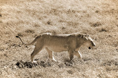 Lion. In Serengeti hosts the largest mammal migration in the world, which is one of the ten natural travel wonders of the world. It is located in north Tanzania Stock Photography