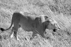 Lion. In Serengeti hosts the largest mammal migration in the world, which is one of the ten natural travel wonders of the world. It is located in north Tanzania Stock Photo