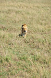 Lion. In Serengeti hosts the largest mammal migration in the world, which is one of the ten natural travel wonders of the world. It is located in north Tanzania Stock Image