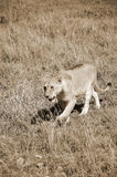Lion. In Serengeti hosts the largest mammal migration in the world, which is one of the ten natural travel wonders of the world. It is located in north Tanzania Royalty Free Stock Images