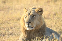 Lion. Image of a Lion while on safari at Linyanti camp in Botswana Stock Image