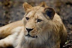 Lion. Captive young male lion, Kent Uk Stock Photos