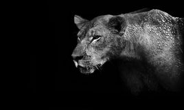 Lion. Black and white lion isolated on a black background Stock Photography