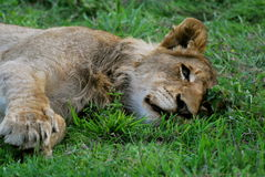 Sleepy Young Male Lion in Sabi Sands, South Africa Stock Photo