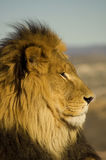 Lion 3 Stock Images