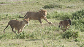 Free Lion 3 A Second Lion Joins The Chase Royalty Free Stock Photo - 24089835