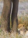 Lion Photo libre de droits