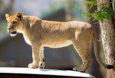 Lion. Close up of Lion portrait. Check my other images pf Lions stock images