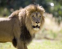 Lion. Close up of Lion portrait. Check my other images pf Lions Royalty Free Stock Photography