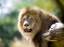 Lion. Close up of Lion portrait. Check my other images pf Lions stock photos