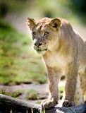 Lion. Close up of Lion portrait. Check my other images pf Lions stock photography