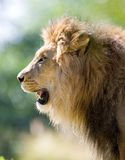 Lion. Close up of Lion portrait. Check my other images pf Lions royalty free stock photos