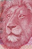 Lion. Stock Photography