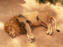 Lion. Photo of a lion sleeping Royalty Free Stock Photo
