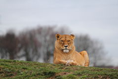 Lion Royalty Free Stock Photography