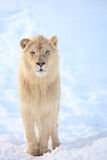 Lion image stock