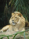 Lion. Big Lion Stock Photography