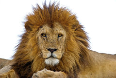 Lion. Staring into the camera. Head front paws (partly) and upper body visible. Serengeti
