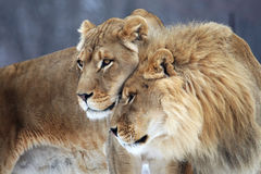 Lion. The couple of lions are staying together sweetly royalty free stock photography