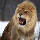 Lion. This male lion is roaring royalty free stock photo