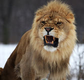 Lion. The male lion is roaring stock photo