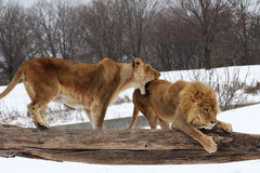 Lion. The two lions are fighting stock photography